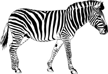 Zebra drawn with ink and hand-colored pop art vector logo