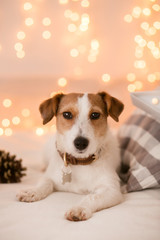 Dog breed jack russel terrier on a background of blurry lights
