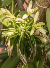 vanille Bourbon, fleurs et gousses juvéniles