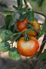 Home Growing Tomatoes. Healthy food.