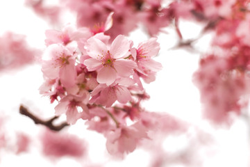 Pink sakura, cherry blossom blooming on branch with light background