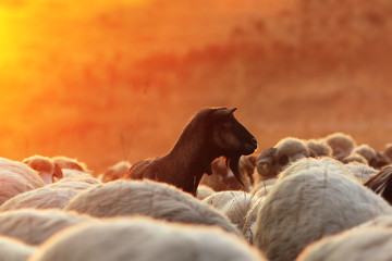 dark goat with sheep herd  at dawn
