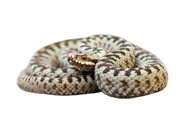 isolated european venomous snake