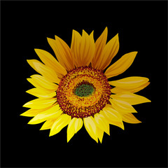 Hand drawn sunflower isolated on black background.