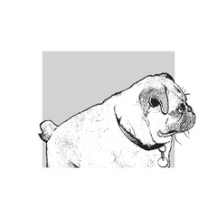 Dog of pug breed. Portrait of a cute pet. Black and white drawing, vector illustration in engraving style.