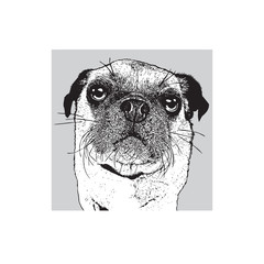 Portrait of a dog of pug breed in front view. Face of a cute pet. Black and white drawing, vector illustration in engraving style.