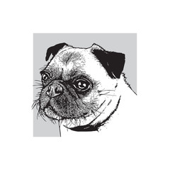 Portrait of a dog of pug breed. Face of a cute pet. Black and white drawing, vector illustration in engraving style.