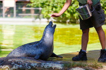 Zoo worker is feeding the fur seal