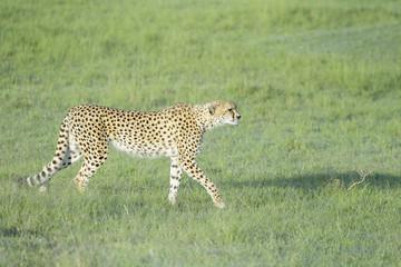 Cheetah (Acinonix jubatus) walking on savanna, Masai Mara, Kenya