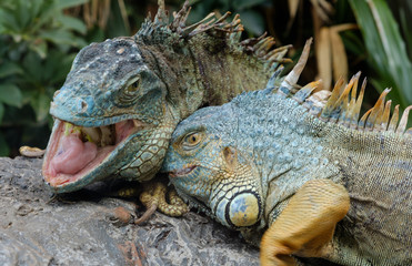 animal fight, green iguana / American iguana