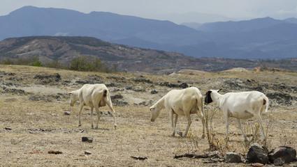 Tree goats walking in the Tatacoa desert. Colombia