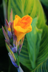 Yellow Canna Lily flower.
