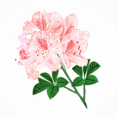 Flowers Light pink rhododendrons twig Mountain shrub vintage vector illustration editable hand draw