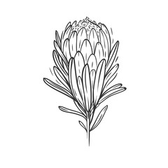 protea flower isolated on white