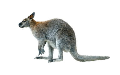 rock wallaby isolated