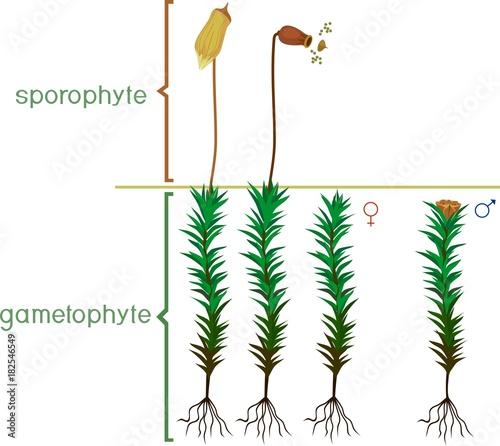 mature female gametophytes of common haircap moss or polytrichum rh fotolia com