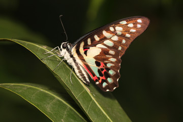 Butterfly - Insect