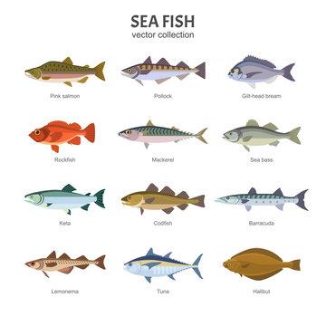 Sea fish set. Vector illustration of different types of saltwater fish, such as Pink salmon, Pollock, Gilt-head bream, Rockfish, Mackerel, Sea bass, Keta, Codfish. Isolated on white.