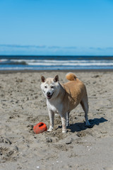 Shiba at the Beach