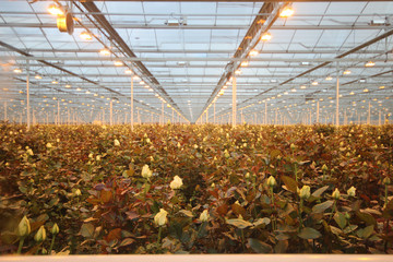 Roses in a greenhouse nursery in Moerkapelle, Netherlands