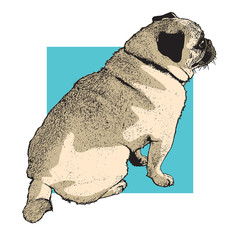 Dog pug sitting. Color picture picture of cute pet. Vector illustration in engraving style.