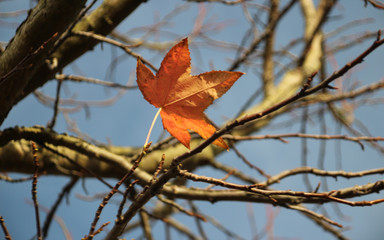 Last leaf on a tree in the autum.