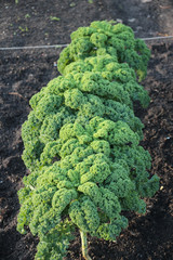 Kale in the garden almost ready to be harvest