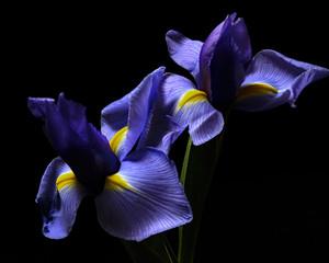 Deurstickers Iris Iris Pair 0211