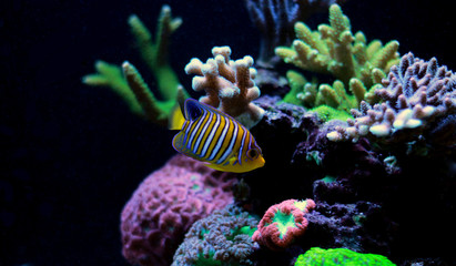 Regal Angelfish in reef aquarium tank