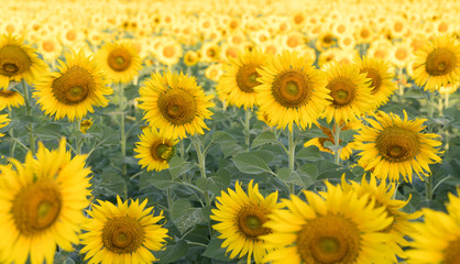 beautiful sunflower fields in garden,