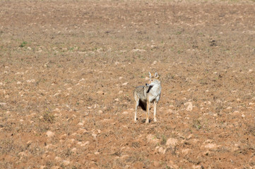 A coyote stands at attention in a freshly plowed field