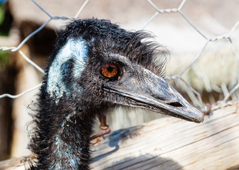 Black ostrich is looking at the camera