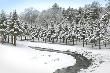 Freshly Fallen Snow Covering Branches of Pine Trees on River Bend