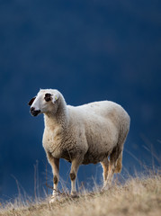 Sheep grazing on hillside with forest in background