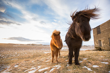 Horses in the mountains in Iceland