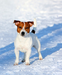 Jack Russell Terrier Posing Outside. Portrait of a white dog with a red head. Funny puppy stands in the winter on the snow. Vertical image.