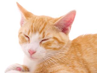 Orange Pet Cat