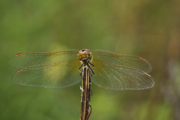 Big dragonfly against a green grass
