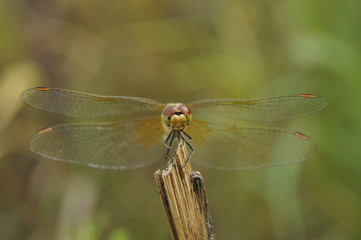 Big dragonfly against a green grass