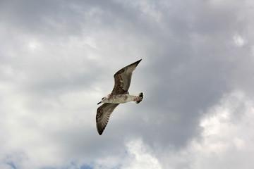 Mouette dans le ciel gris