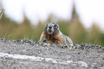 living wild marmot