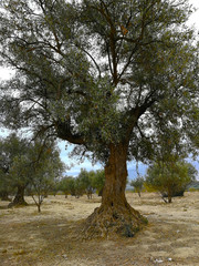 Old olive trees in arid lands