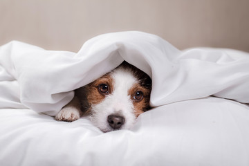 Dog Jack Russell Terrier lying in bed