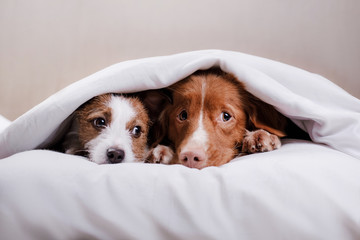 Dog Jack Russell Terrier and Nova Scotia duck tolling Retriever lying on the bed