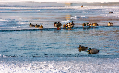 flock of ducks on the ice of frozen river. some birds swim in the water