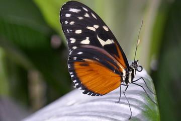 Tiger Longwing Macro Butterfly
