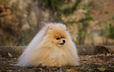 Pomeranian dog outdoor portrait in nature