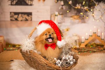 рыжая пушистая собака в корзине с игрушками под елкой