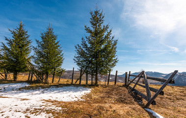 spruce trees near the fence on hillside with weathered grass and snow. lovely springtime scenery in mountains