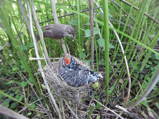 Acrocephalus palustris. The nest of the Marsh Warbler in nature. Common Cuckoo (Cuculus canorus).